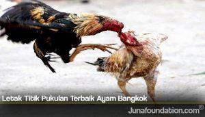 Letak Titik Pukulan Terbaik Ayam Bangkok