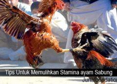 Tips Untuk Memulihkan Stamina ayam Sabung