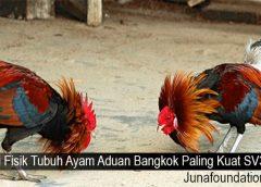 Ciri Fisik Tubuh Ayam Aduan Bangkok Paling Kuat SV388