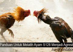 Panduan Untuk Melatih Ayam S128 Menjadi Agresif