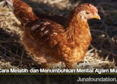 Tips Cara Melatih dan Menumbuhkan Mental Ayam Muda